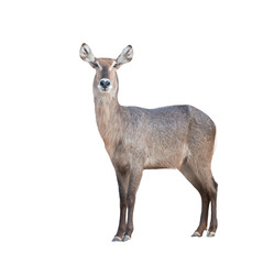 waterbuck isolated