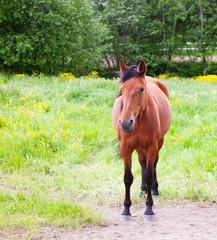 Horse grazing in a field in summer