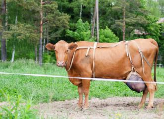 Cow grazing in field in summer