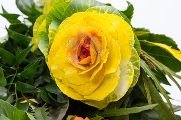 Ornamental kale with yellow, orange, and green leaves (Brassica oleracea)