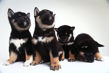 group of puppies on a white background