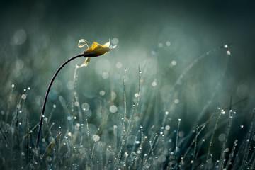 Tulip in dew