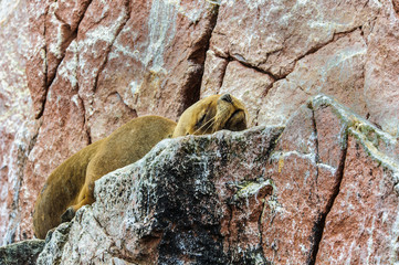 South American sea lion sleeps over the rock, Peru, South America