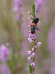 Rove Beetle - Platydracus stercorarius