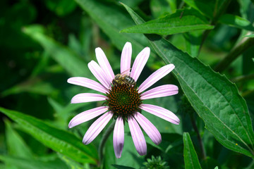 Wall Mural - Echinacea with bee
