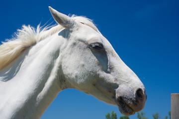Camargue-Pferd, Frankreich