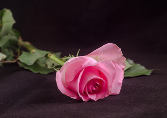 Pink roses flower, close up, isolated