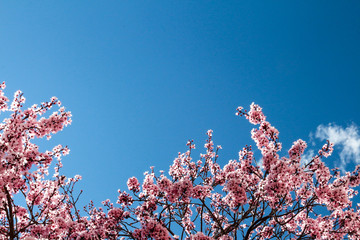 Treetop of a fruitless plum tree in bloom with pink flowers
