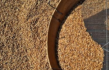 Fototapeta Chicchi di grano con setaccio obraz