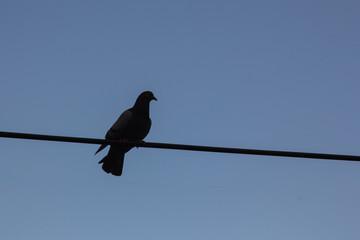The silhouette of a dove