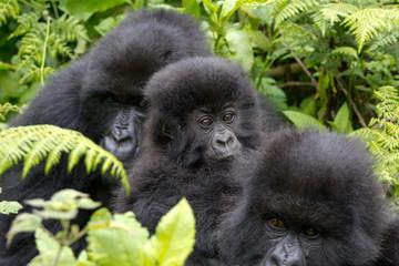 Three Gorillas resting in the Virunga National Park, Rwanda