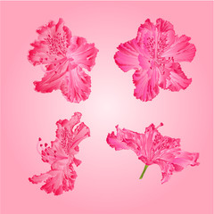 Pink rhododendrons vector