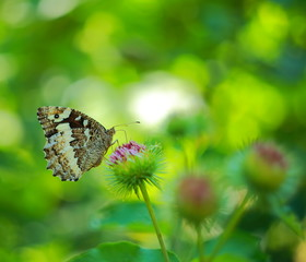 Photo of a butterfly on thorn burdock