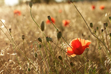 Red poppies in field - beauty in nature