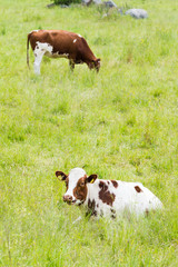 Two Cows on a Green Grassy Field