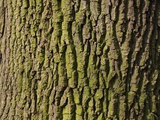Fototapeta kora drzewa o grubym pniu pokryta porostami wiosną w słoneczny dzień  obraz