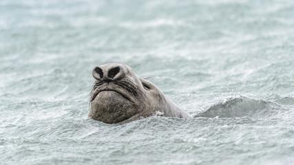 Elephant seal swims in the ocean.