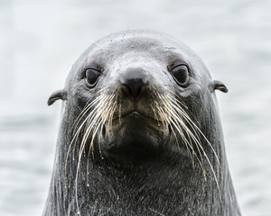 Intense look of an Atlantic seal.