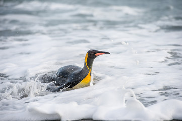 King penguin swims in the water.