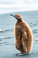 Portrait of a penguin with brown feathers