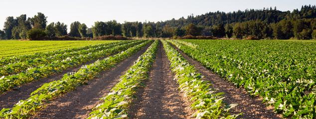 Planted Rows Herb Farm Agricultural Field Plant Crop Fotoväggar
