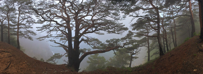 Panoramic image of the pine trees in the dense fog.