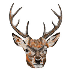 Whitetail Deer Head. Vector Illustration of a Whitetail Deer Head.
