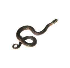 Vipera berus in front of white background