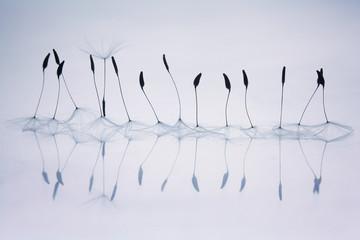 dandelion fluff, design, ballet