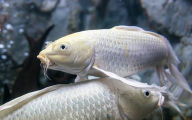 Long fin fancy carp fish
