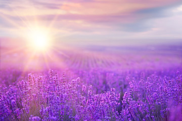 Photo sur Aluminium Lavande Sunset over a lavender field.