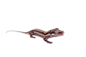 The gargoyle, New Caledonian bumpy gecko on white