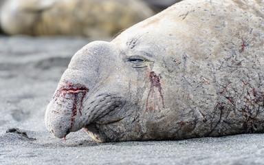 Big Seal on the coast in South Georgia
