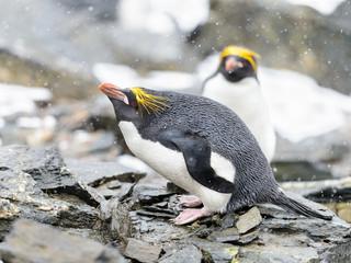 Macaroni penguin on the stones in Antarctica