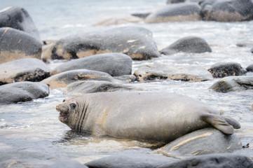 Seal screams in South Georgia
