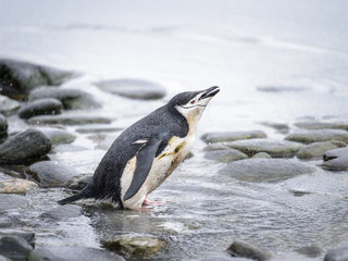 Chinstrap penguin looks for the fish in water in ANtarctica