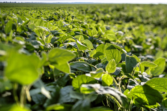 Leaves and shoots of young soybean farmer field against the sky