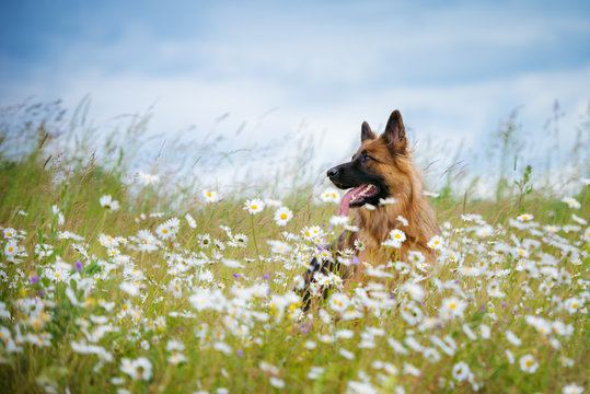german shepherd dog portrait outdoors