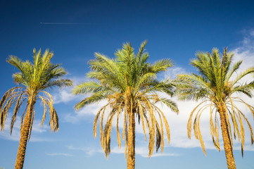 Palm trees lighted by evening sun against blue sky with clouds