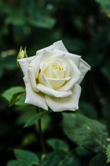 One rose in white colour. Very tender white colour. Wallpaper with flowers. Flower wallpapers