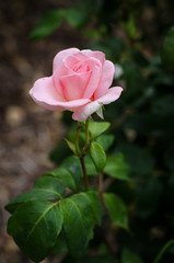 One rose in rose colour. Very tender rose colour. Wallpaper with flowers. Flower wallpapers