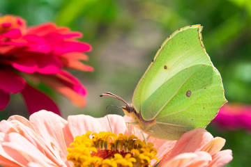 Checkered White Butterfly on a pink Zinnia
