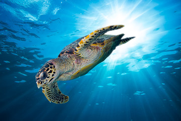 hawksbill sea turtle dives down into the deep blue ocean