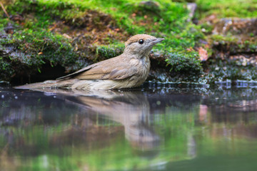 Eurasian Blackcap Stands In The Water
