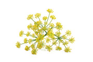 Fototapeta Wild fennel flowers obraz
