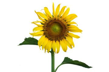 sunflower on isolate background