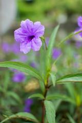 Ruellia tuberosa flower color beautiful
