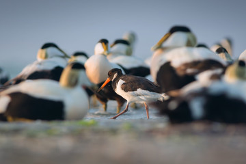 Eurasian Oystercatcher and Eiders