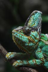 Veiled chameleon (Chamaeleo calyptratus).