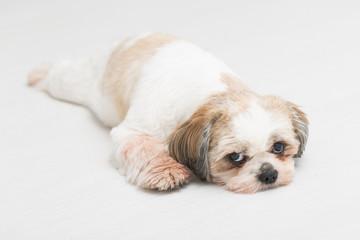 Shih tzu puppy posing on white background.